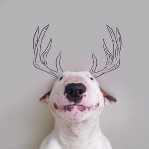 18194410-R3L8T8D-650-Jimmy-the-Bull-Terrier15__605