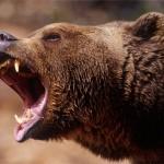 Охотник засунул руку в пасть медведя гризли, чтобы спасти себе жизнь