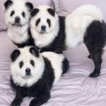Собаки-панды спровоцировали фурор в Сети