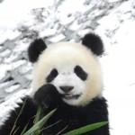 Панда, кувыркающаяся в снегу, стала сенсацией в Сети