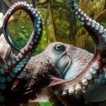 В Новой Зеландии осьминог сбежал из аквариума