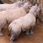 Плачущие детеныши носорога растрогали интернет-сообщество