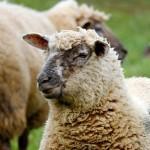 Овцы под марихуаной устроили погромы в Великобритании