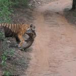 Тигр загрыз леопарда прямо на глазах у туристов