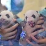 Китайские панды-двойняшки впервые вышли в свет