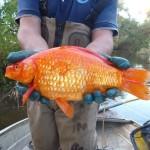 Золотые рыбки, выпущенные на волю, выросли и стали вредителями