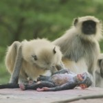 Обезьяны оплакали «смерть» робота-обезьяны