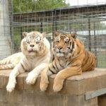 История братьев-тигров, которым не совсем повезло
