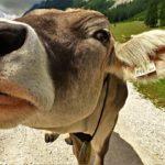 Миллионы жителей США уверены, что какао и шоколад дают бурые коровы