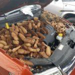 Мужчина не смог завести новую машину. Под капотом его ждал «подарок» от белки
