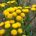 Это растение защищает от клещей и других вредных насекомых