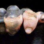 В американском зоопарке родился малыш гориллы со странной пигментацией пальцев. И это поражает