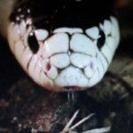 В Индии обнаружили редчайшую змею-альбиноса