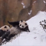 В сети показали, как панды открыли зимний сезон (ВИДЕО)
