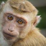 Маск успешно чипировал обезьянку